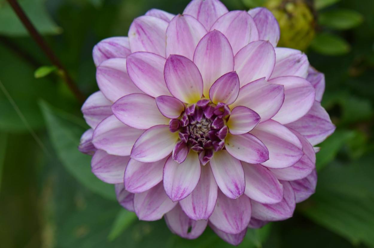 Dahlia 'Seduction'